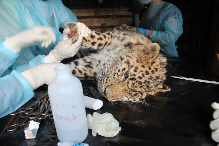 спасение дальневосточного леопарда