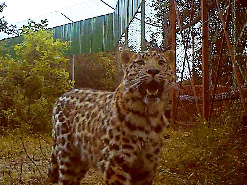 леопард лео