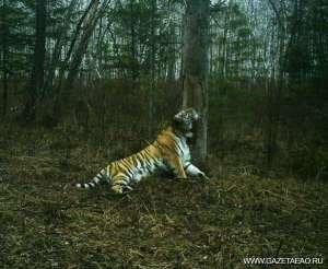 амурский тигр природа