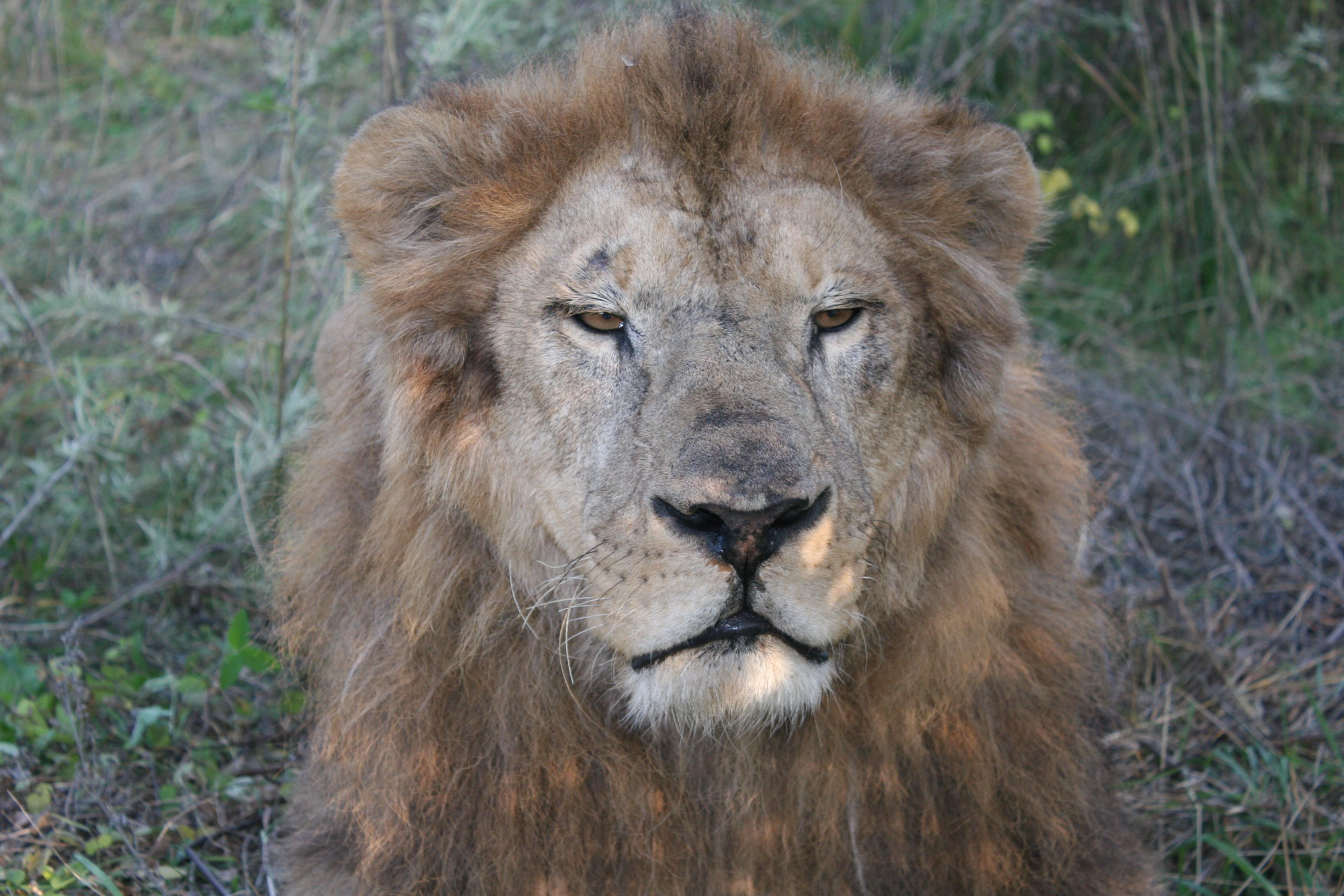 лев лучшие фото