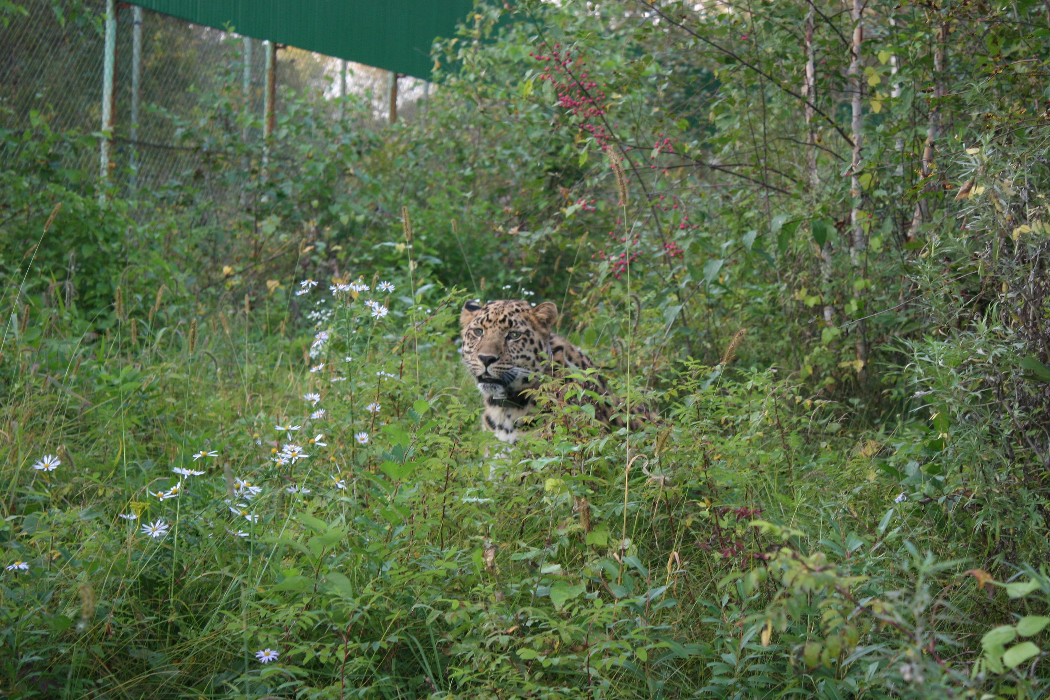 маскировка леопарда