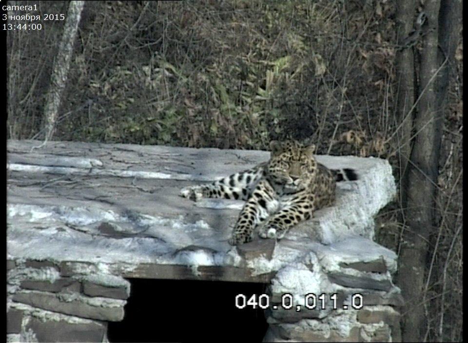 леопард из земли леопарда