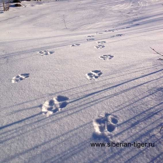 следы тигра на снегу