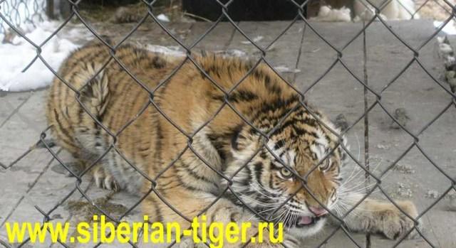 спасенный амурский тигр