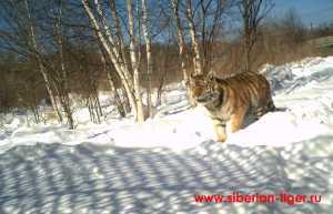 маленькая тигрица в центре реабилитации