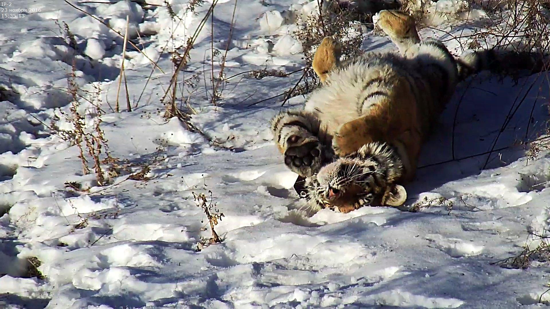 фото амурского тигра +в хорошем качестве