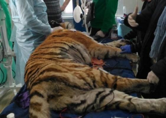 тигрица борется за жизнь