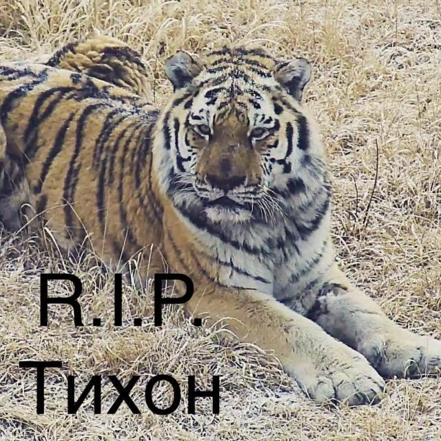 амурский тигр фото