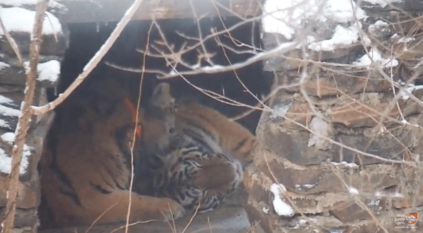амурский тигр книга