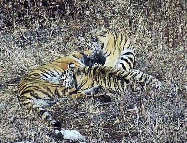 мама тигр