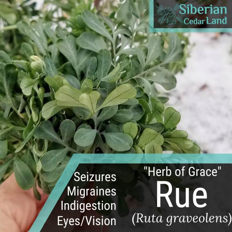 Rue - Herb of Grace (Ruta graveolens) Benefits  Uses