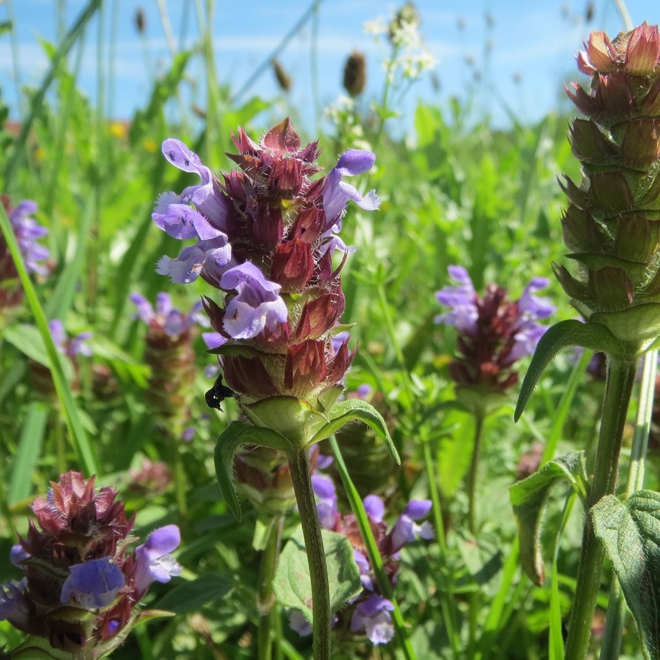 Heal All or Self Heal (Prunella vulgaris) Wildcrafted, whole