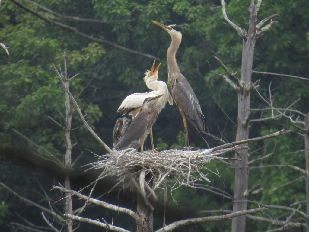 Dilute plumage partial albino Great Blue Heron in a nest in Bolton, MA, 7 July 2016. photo ©David Sibley