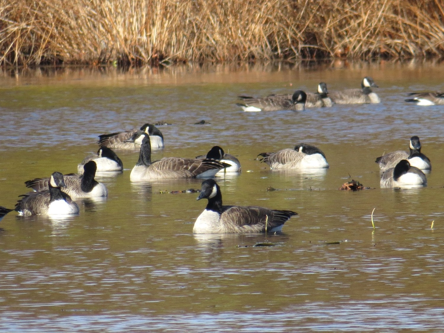 Canada Goose (center foreground) and many Cackling-ish Geese. 8 Nov 2014, Concord, MA. Photo copyright David Sibley.