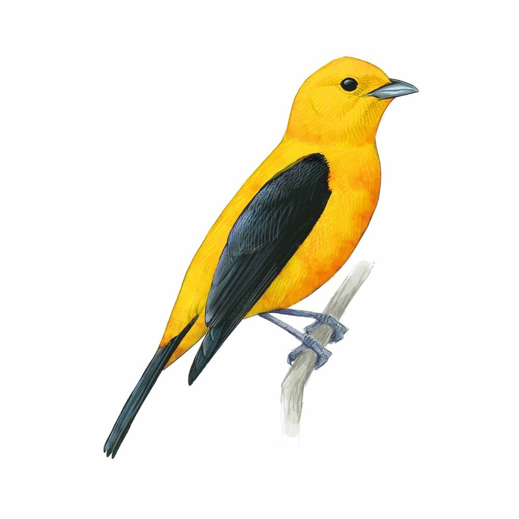 Scarlet Tanager with brilliant yellow color - original art by David Sibley
