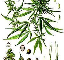 Canapa: una pianta dalle cento virtù