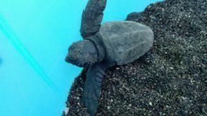 A Linosa nate 23 tartarughe caretta caretta