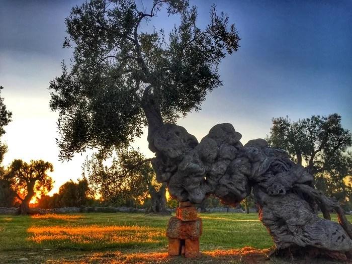 un ulivo millenario nella masseria Brancati a Ostuni in Puglia