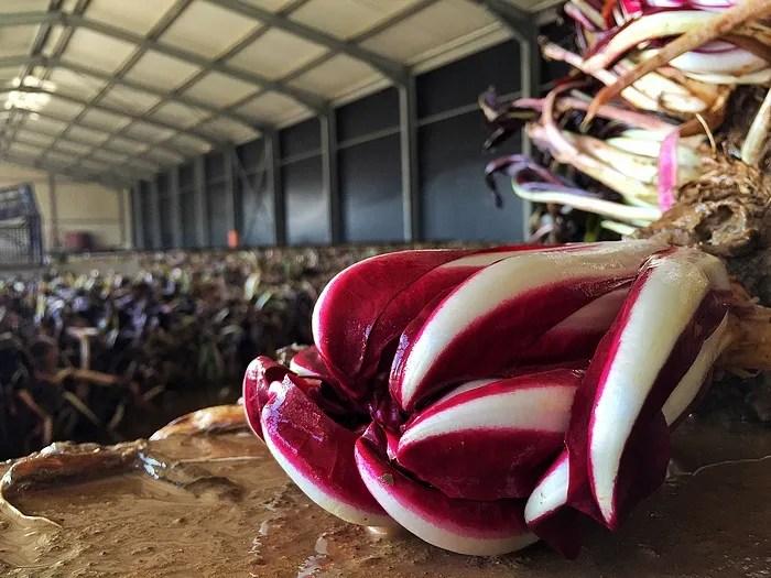 Fin rouge radicchio di Treviso IGP, il fiore d\'inverno
