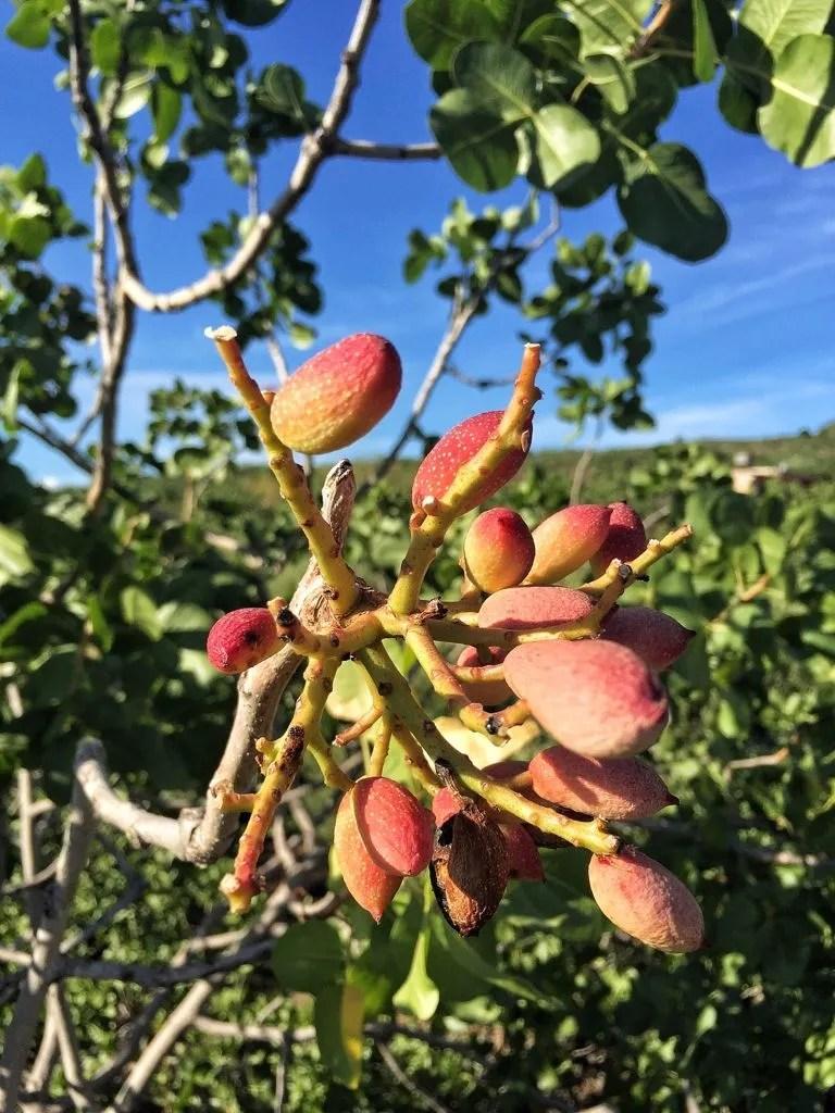 Pistacchio: origini proprietà e ricette siciliane