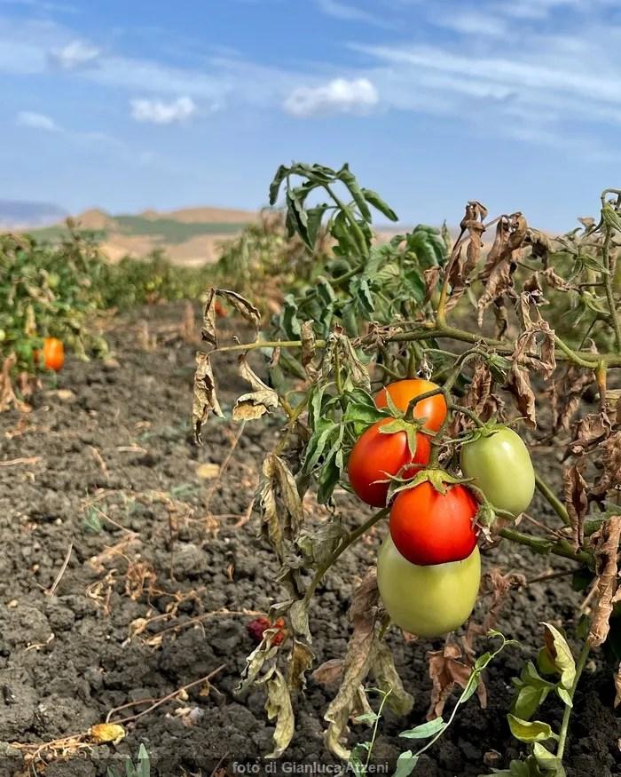 Sicilian siccagno tomato