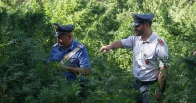 #Terrasini. Sequestrata una piantagione di marijuana, 750 piante alte più di due metri