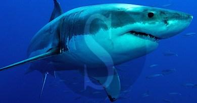 #Messina. Avvistato squalo bianco, paura nello Stretto