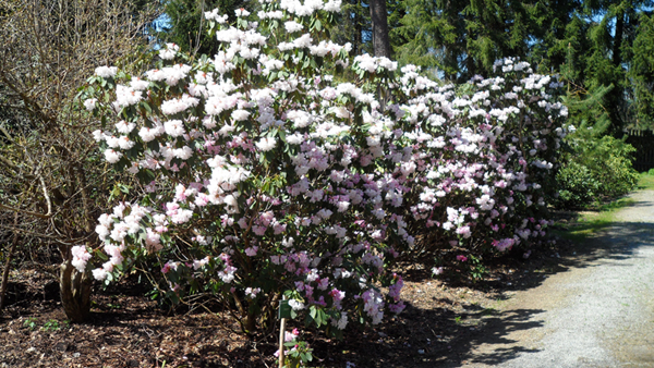 Rhododendron im Selegermoor