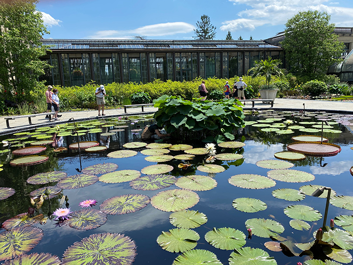 Longwood is famous for its spectacular tropical and hardy water lilies