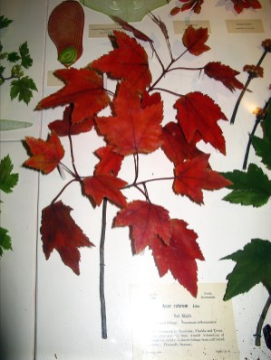 Harvard Natural History Museum Glass Flowers, Red Maple
