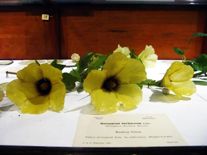 Harvard Natural History Museum Glass Flowers, Nanking Cottpon