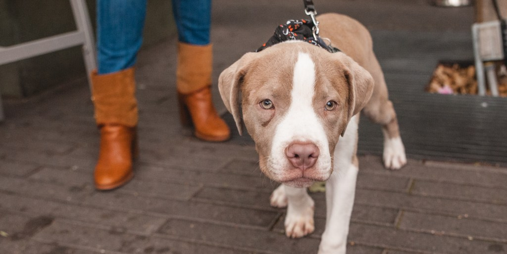 what to know before adopting a pit bull