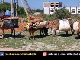 Sidlaghatta Donkeys Rural Life Transport Carrier Article Write up Mallikarjuna DG