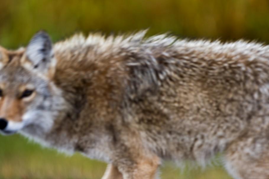 coyote, canis latrans, Alberta wildlife, conservation, wild dog, opportunist, carnivore, canine, Elk Island National Park, Parc national du Canada Elk Island
