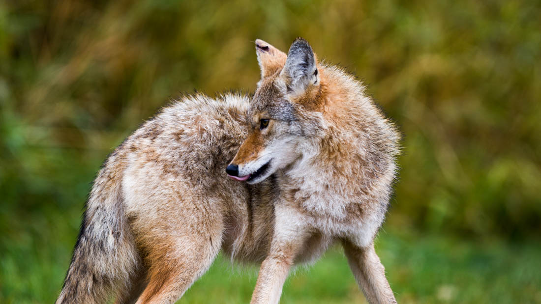 A young coyote (canis latrans) look for food during an autumn morning. He shows signs of recent battle, true to his wild nature, Alberta wildlife.
