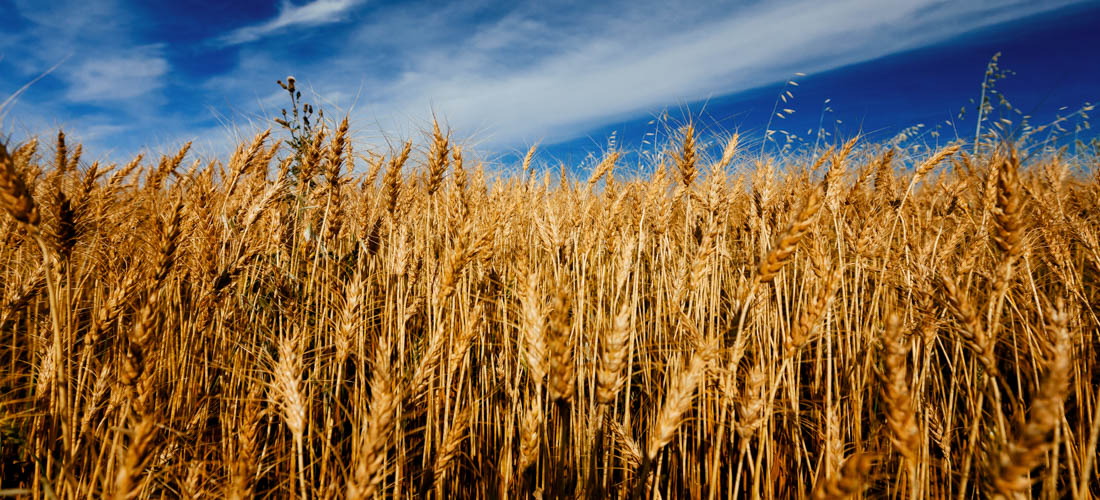Wheat crops blowing in the warm autumn wind against a bright blue sky, rural Alberta and agriculture.