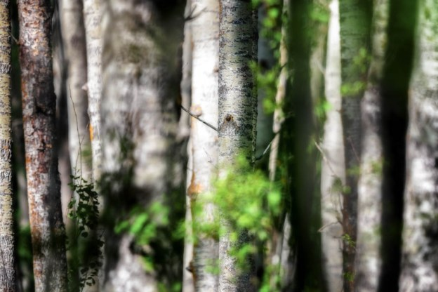 Blurred white birch trees and leaves at Elk Island National Park, Alberta landscape.