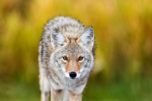 A young coyote (canis latrans) strolls through Elk Island National Park in Alberta, Canada during autumn, 2012. He shows signs of recent battle, true to his wild nature, Alberta wildlife.