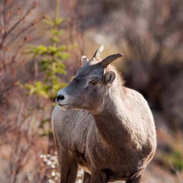 Alberta wildlife, Bighorn Sheep (Ovis canadensis) ewe during a mid-autumn afternoon towards the entrance of Jasper National Park.