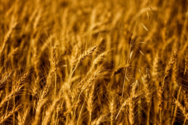 Golden wheat crops blowing in the warm autumn wind, Alberta agriculture.