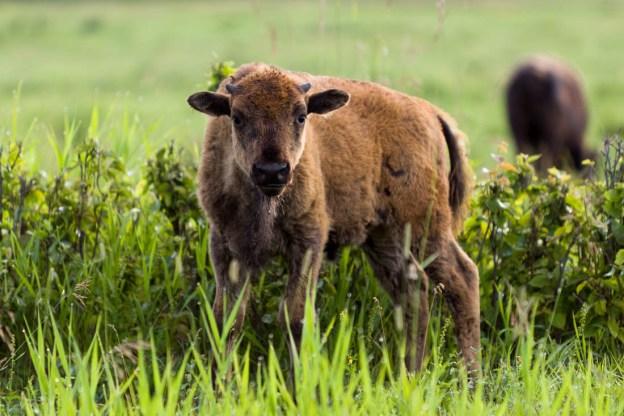 Plains bison calf, bison bison bison, better known as Little Red, deep in vegetation during an early summer morning, Elk Island National Park, Canada.