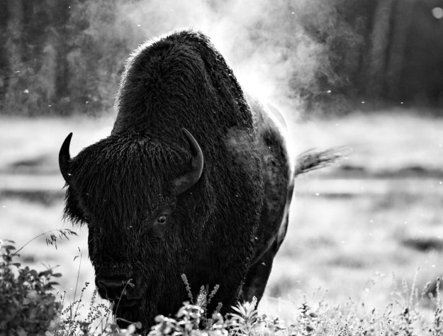 Wet and muddy large Plains bison bull (bison bison bison) holds his ground after wallowing and kicking up a dust storm after his post sparring match with other bulls during the rutting season at Elk Island National Park, Alberta black and white wildlife behavioural portrait and plains bison conservation herd.
