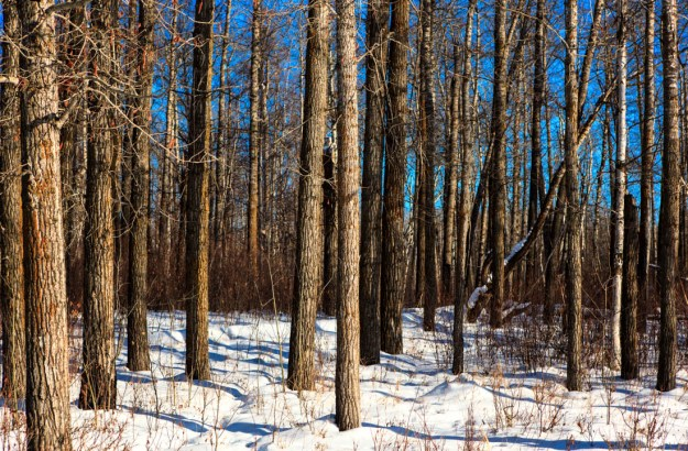 A winter mid-afternoon with bright blue skies shining against the woods at Elk Island National Park.
