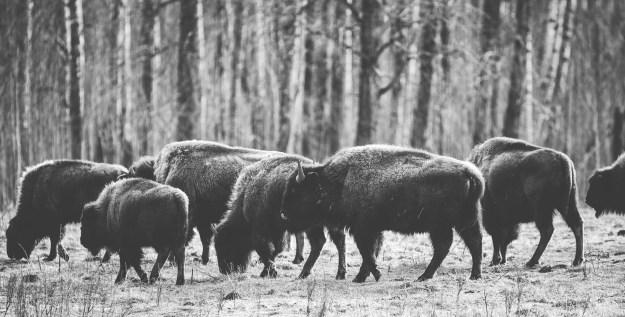 Small herd of Plains bison (bison bison bison) grazing on nutrient-deficient vegetation at Elk Island National Park, Alberta wildlife.