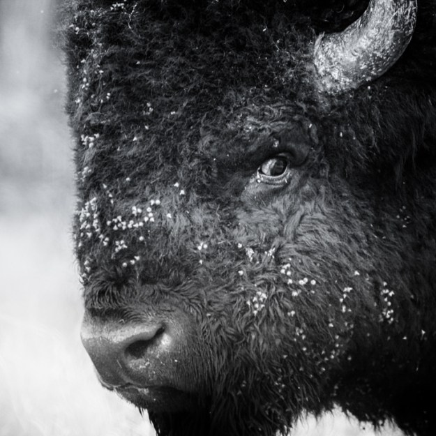 Alberta wildlife, Plains bison bull during the annual bison rut at Elk Island National Park has an intense stare at those in his surroundings.