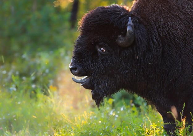 Plains bison bull (bison bison bison) demonstrating classic bull behaviour during the annual bison rut at Elk Island National Park during a mid-summer early morning, Alberta wildlife behavioural portrait. Copy space horizontal.