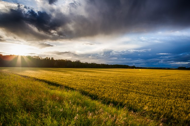 Mid-summer stormy sunset over a farmer's crops of barley in rural Alberta, Parkland County, Alberta agriculture landscape. Copy space horizontal.