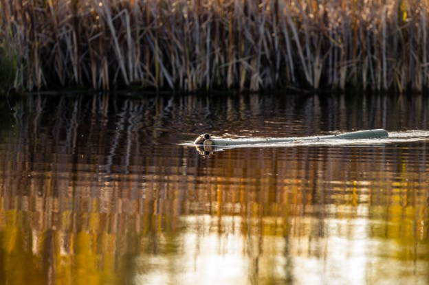 North American beaver (Castor canadensis) swims with a log to construct its lodge during an early autumn morning at Elk Island National Park, Alberta wildlife.