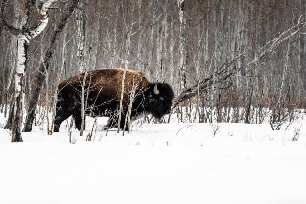 Plains bison cow (bison bison bison) walking through the snow whilst looking for food during a winter morning at Elk Island National Park, Alberta wildlife environmental portrait.