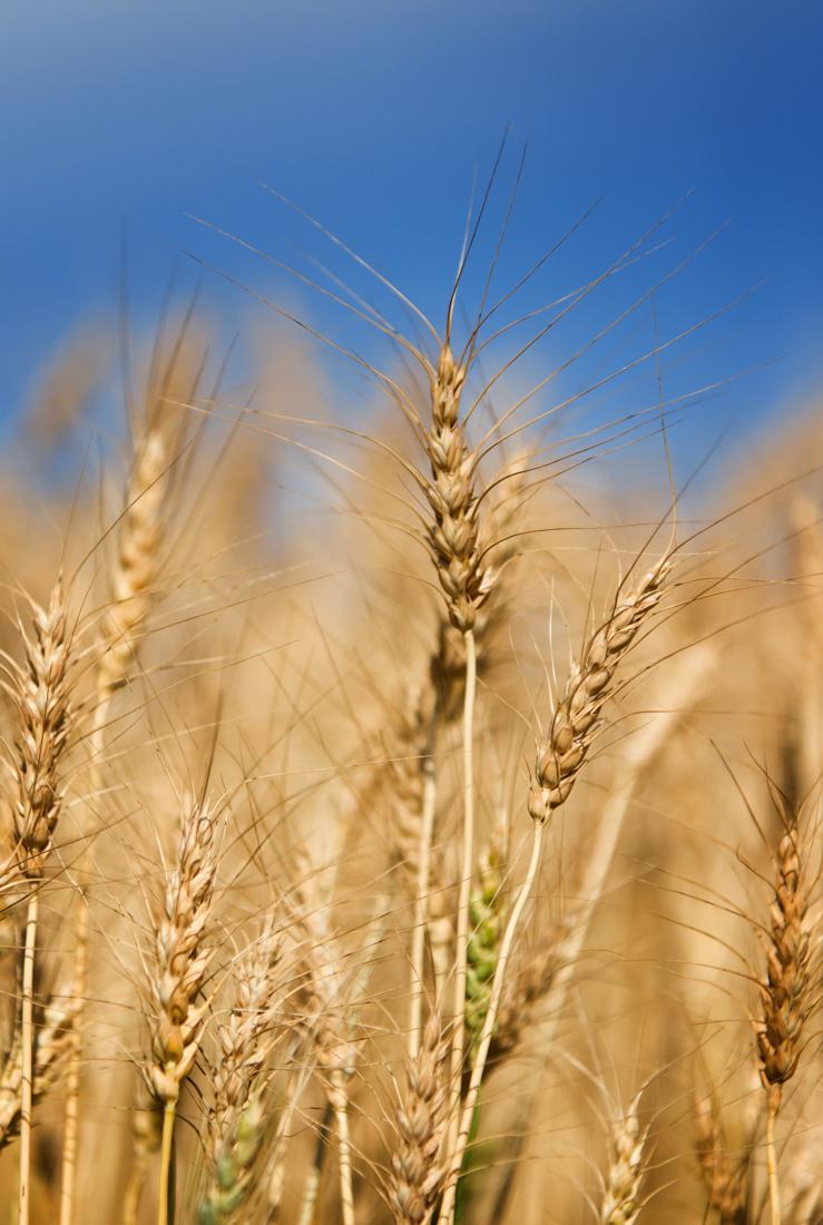 Wheat crops blowing in the warm autumn wind against a bright blue sky, Alberta agriculture landscape, rural Alberta. Copy space vertical.